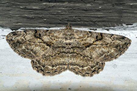 open wings moth on a wall macro detail