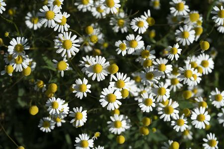 chamomile flower field view detail