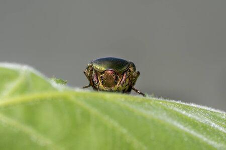 Green metallic beatle while eating pollen into a hibiscus Stockfoto