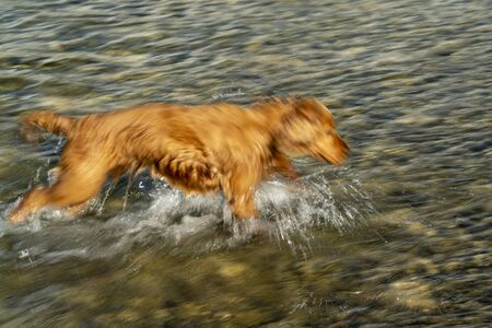 happy puppy dog cocker spaniel in the river running to you Stockfoto - 149629538