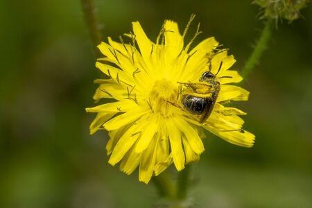 bee collecting pollen on yellow flower macro detail
