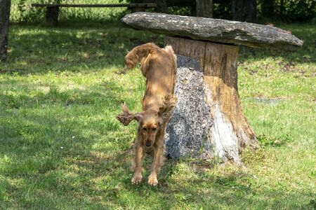 happy puppy dog cocker spaniel jumpin in the green grass Stockfoto