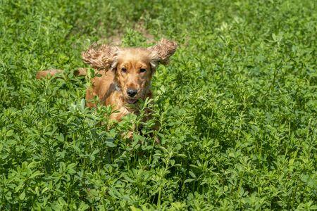 happy puppy dog cocker spaniel jumpin in the green grass Stockfoto - 149629569