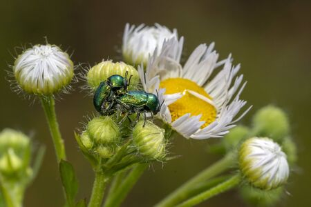 Cryptocephalus sp green beetle while mating on yellow dandelion flower