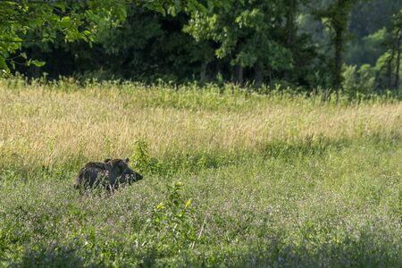 mother wild boar running on grass Stockfoto