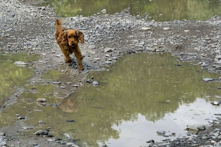 happy puppy dog cocker spaniel in the river running to you Stockfoto - 149629618