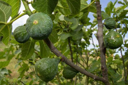fig fruit on plant ready to harvest macro fisheye