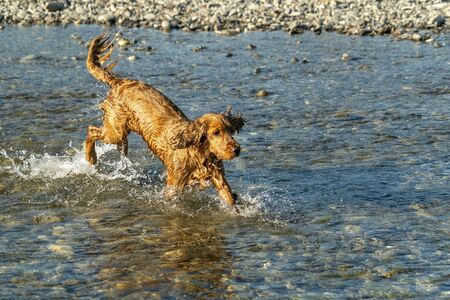 happy puppy dog cocker spaniel in the river running to you Stockfoto