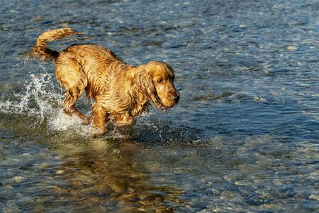 happy puppy dog cocker spaniel in the river running to you Stockfoto - 149630181