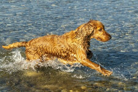happy puppy dog cocker spaniel in the river running to you Stockfoto - 149630182