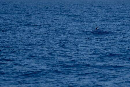 Goose Beaked whale dolphin Ziphius cavirostris ultra rare white Stockfoto - 149852679