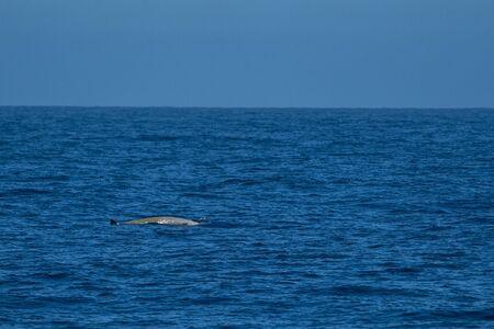 Goose Beaked whale dolphin Ziphius cavirostris ultra rare white