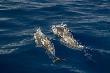 Move effect on striped dolphin jumping outside the sea Stockfoto