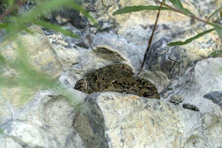 frog hiding in a swamp rock detail Stockfoto - 150457544