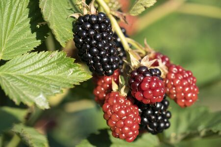 Blackberry while maturing on plant field