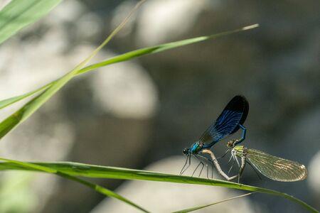 mating hearth dragonfly macro close up detail Stockfoto