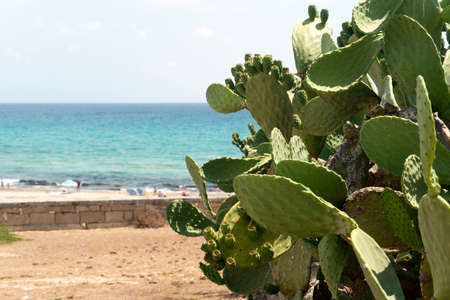 prickly pear Sicilian Mediterranean Sea Cactus detail Standard-Bild