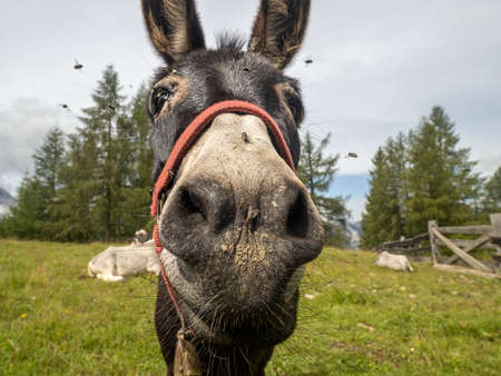 Donkey nose infested with a lot of fly Standard-Bild