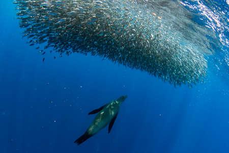 Striped marlin and sea lion hunting in sardine run bait ball in pacific ocean blue water baja california sur