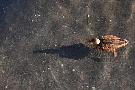 female mallard on water with sun shadow Standard-Bild