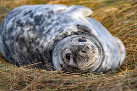 gray seal puppy while relaxing at Donna Nook Lincolnshire beach England