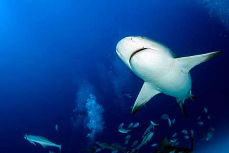 bull shark while feeding in mexico in blue ocean