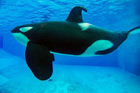 Orca killer whale in Aquarium