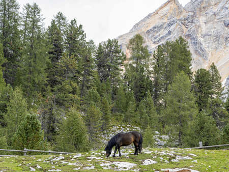 black horse relaxing in dolomites mountains Stockfoto
