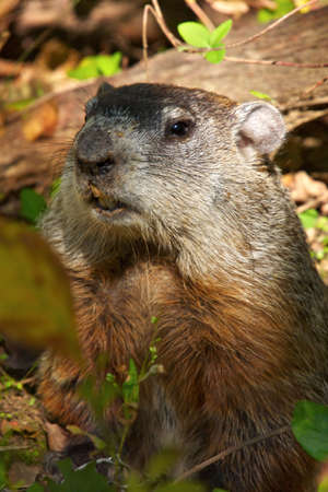 North America marmot. Black Hill Regional Park. Maryland. Stock Photo - 250594