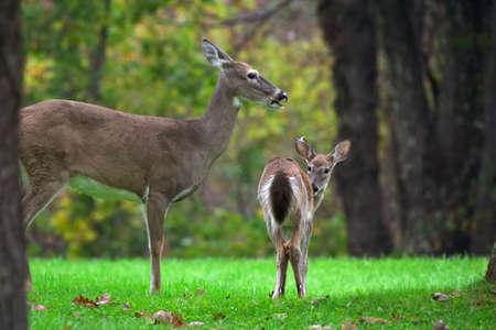 Deers family  Shenandoah National Park. Virginia