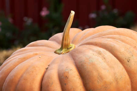 Big pumpkin Stock Photo - 252902