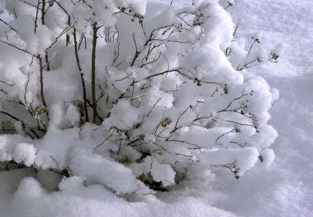 Bush covered with snow Stock Photo