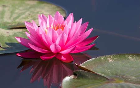 flor loto: Lirio del agua