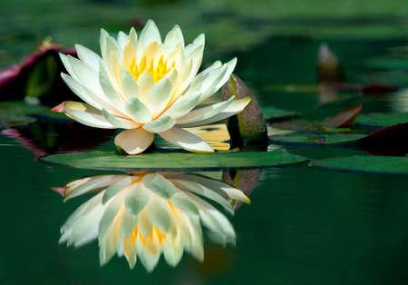 flor loto: Agua de lirio y de su reflexi�n