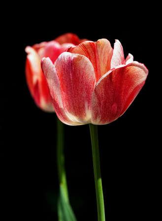 Two tulips on black background Stock Photo