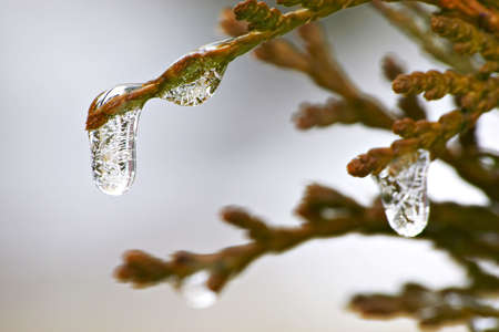 winter thaw: Icicles on a bush