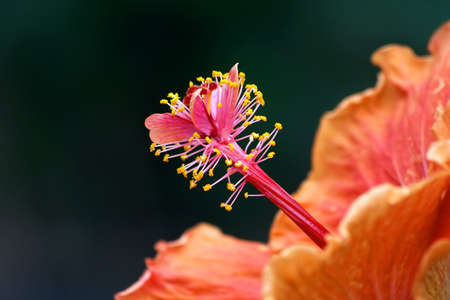 Center of flower  Hibiscus photo