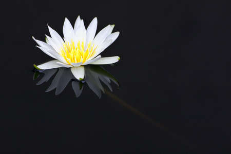 White waler-lily Standard-Bild