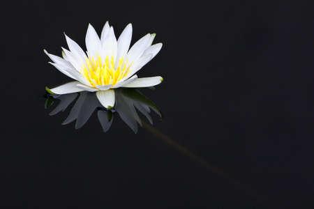 White waler-lily Stock Photo