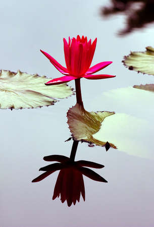 Water-lily and its reflection