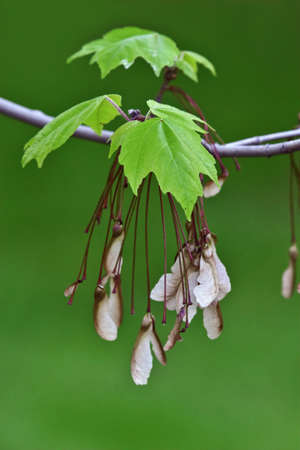 Maple leaves and seeds Stock Photo - 293558