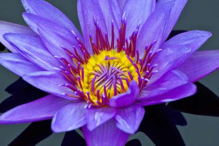 Purple lily Stock Photo