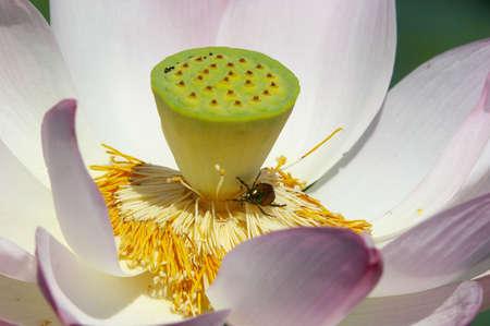 Lotus and bug