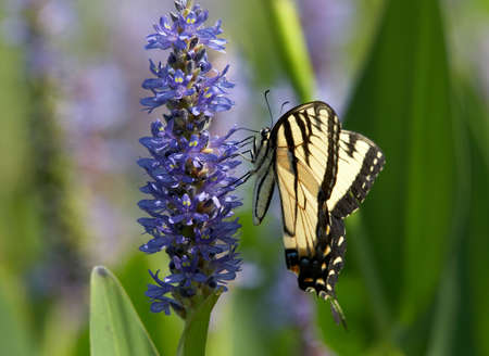 swallowtail: Easter tiger swallowtail on pickerelweed
