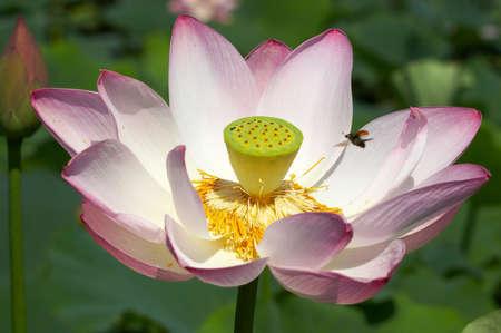American lotus and bug
