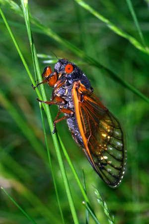 cigarra: Cicada cerca  Foto de archivo