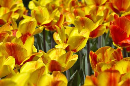 Yellow-red tulips photo