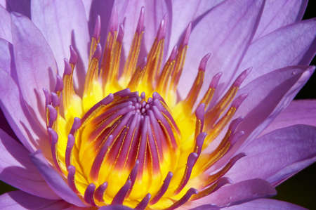 Purple water-lily close up