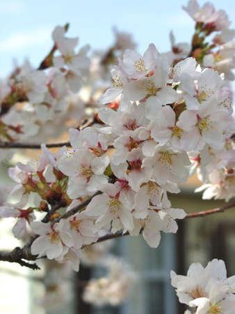 Tree blossom Stock Photo