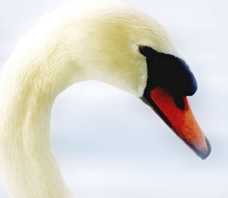 Beautiful swan close-up photo